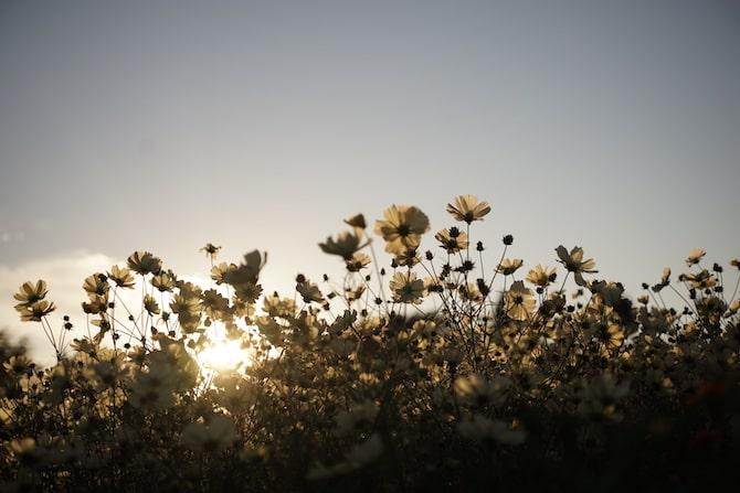 コスモスと夕日